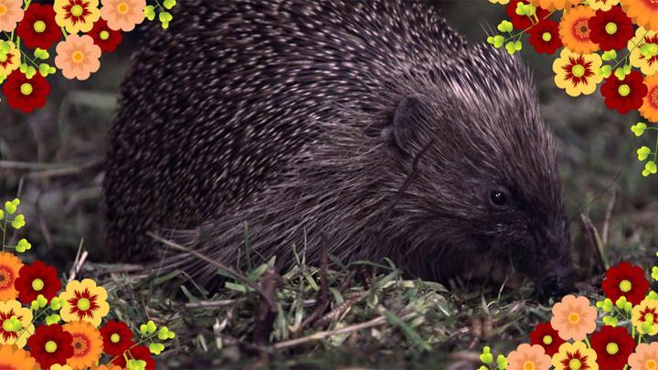 Hedgehog Poem - CBeebies - BBC