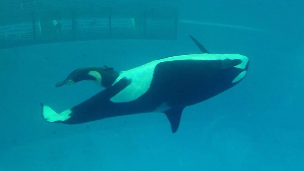 Last SeaWorld orca born in captivity dies 'of pneumonia' - BBC News