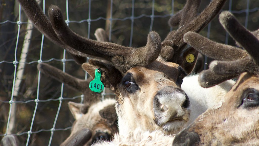 Why are reindeer flying to remote Alaska?