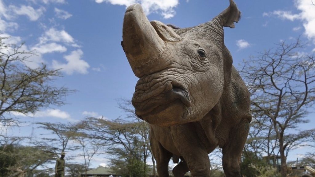 Northern white rhino: Last male Sudan dies in Kenya