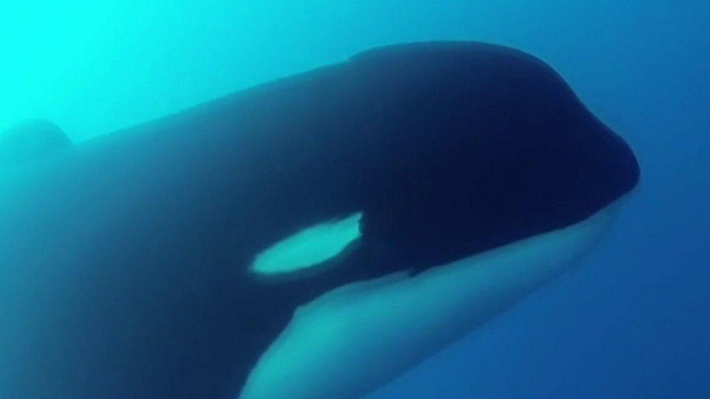 Cómo fue el inédito encuentro científico con las misteriosas orcas tipo D