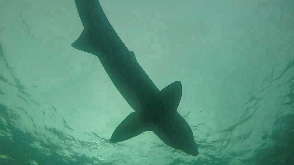 Lives of basking sharks caught on  SharkCam  in Inner Hebrides