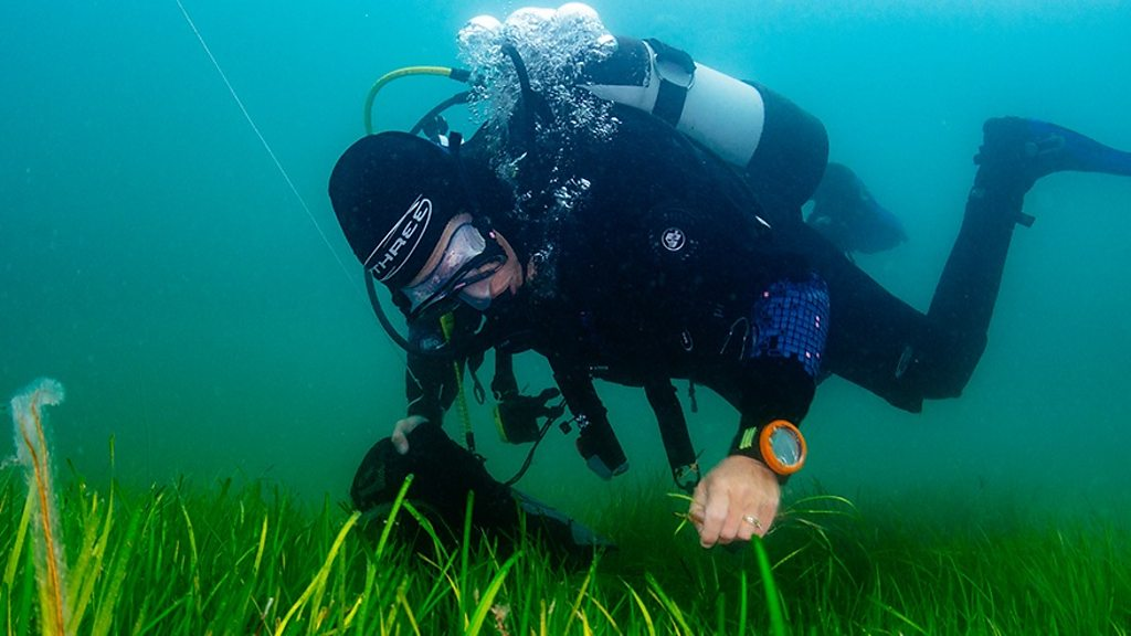 A seahorse sheltering is meadow of common Eelgrass