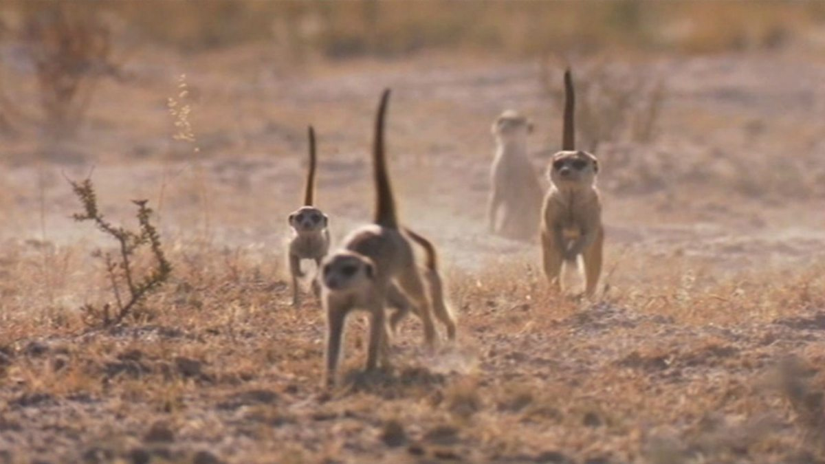 BBC One - Planet Earth Live, Specials, A Meerkat's Tale ...