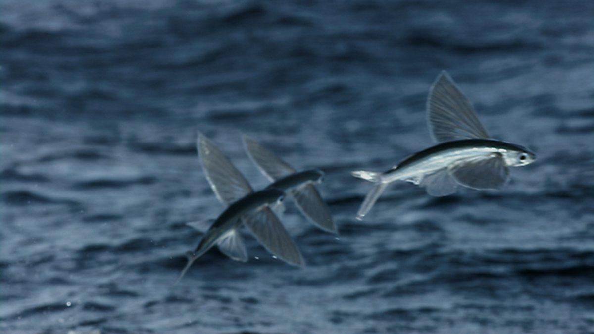 flying fish by cacodaemonia - photo #13