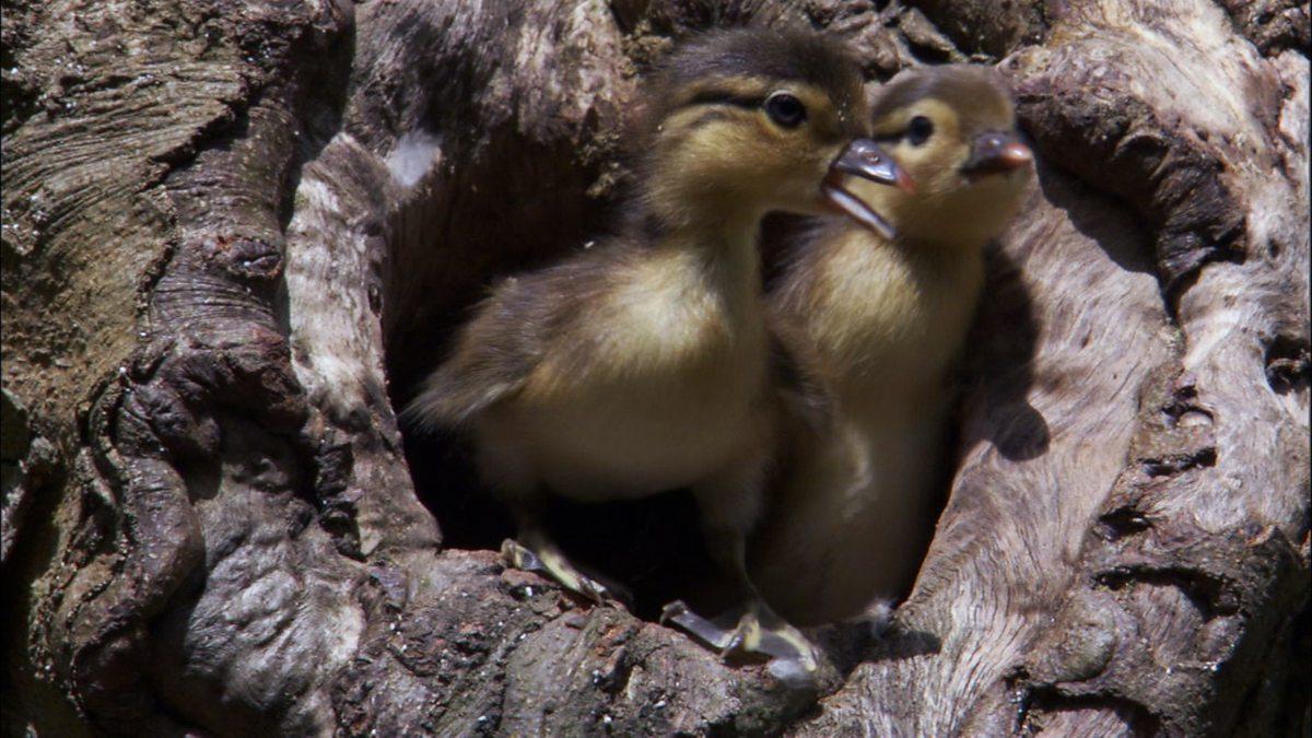 Bbc Two Wonders Of Nature Mandarin Duck First Flight