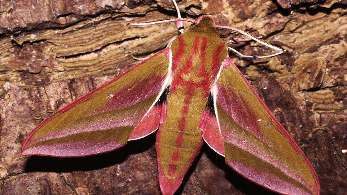 BBC Two - Elephant hawk moth - Springwatch, Springwatch Guide to ...