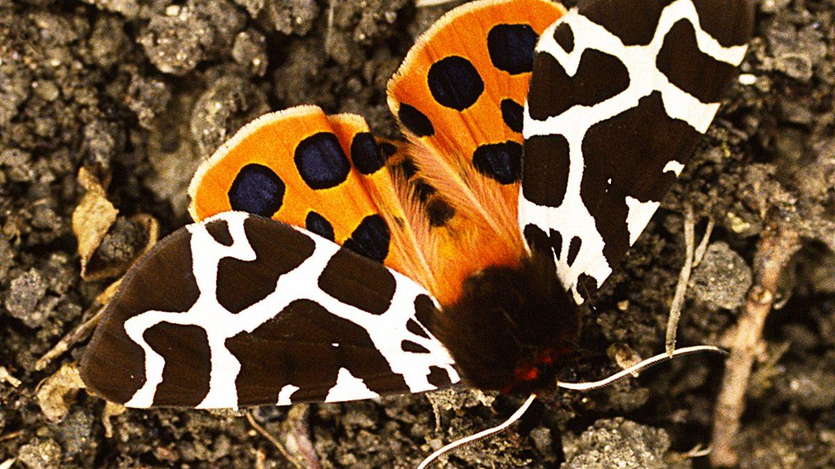 BBC Two - Garden tiger moth - Springwatch, Springwatch Guide to ...