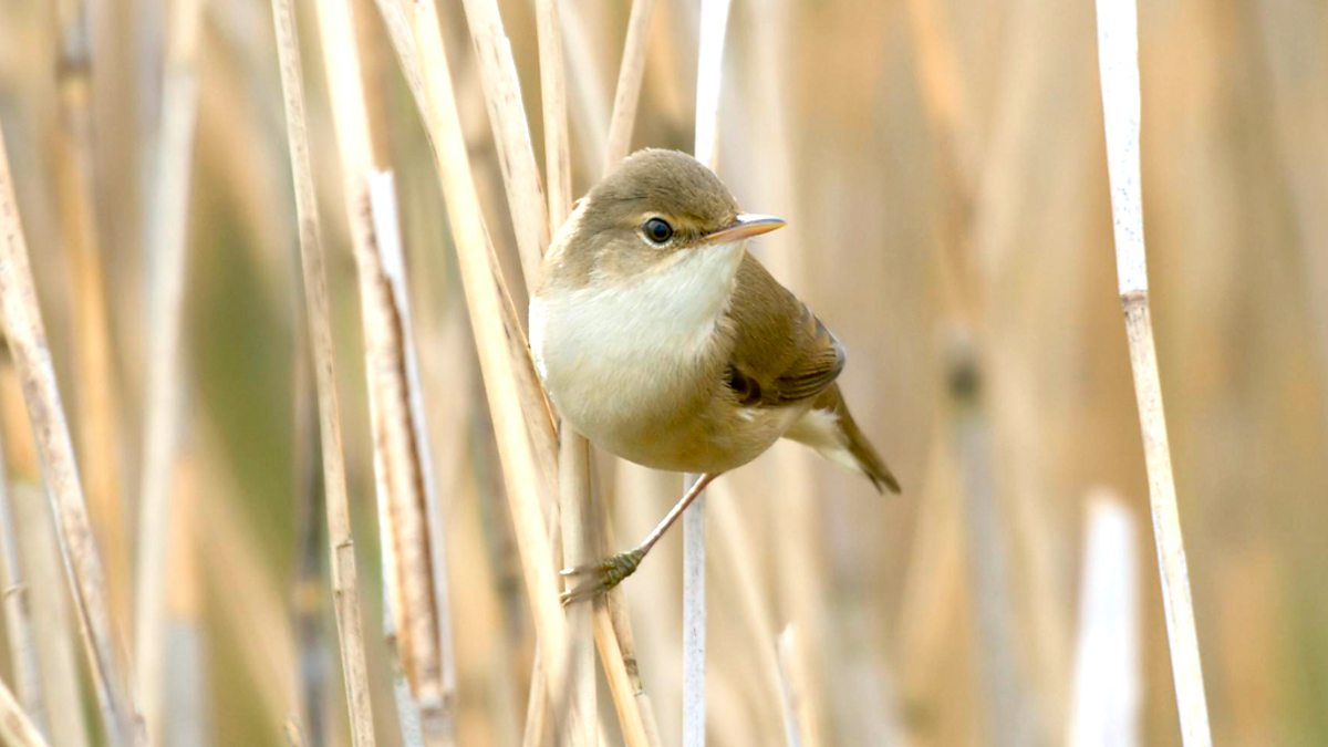 Tweet Of The Day Reed Warbler Bbc Radio 4
