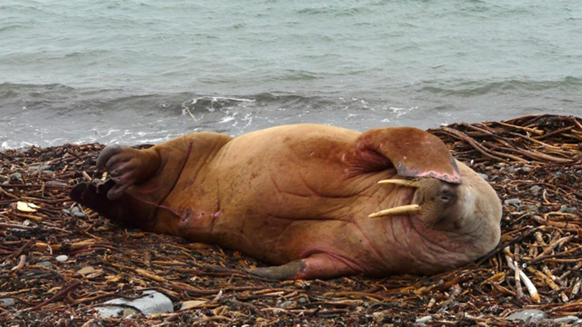 bbc two a sleeping walrus on orkney nature u0027s weirdest events