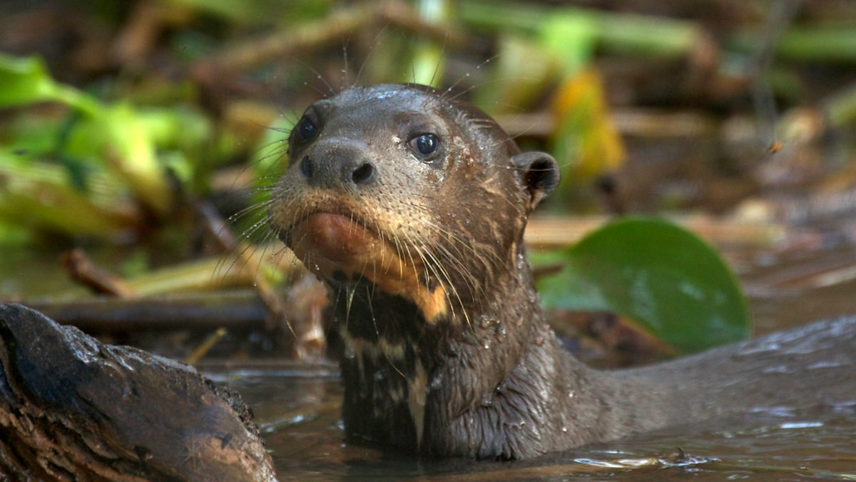 Bbc Two Baby Giant Otter Learning To Swim Wild Brazil Facing