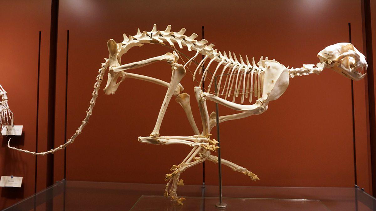 BBC Four - Cheetah skeleton - Secrets of Bones, Down to Earth - In ...