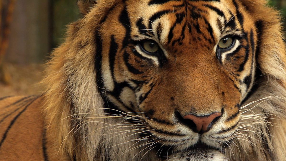BBC Two - Tigers about the House, Series 1 - Sumatran ...