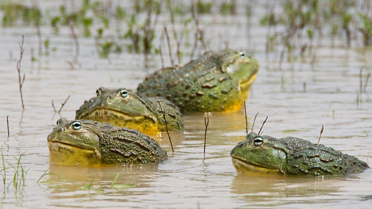 katak afrika paling besar mandi kolam