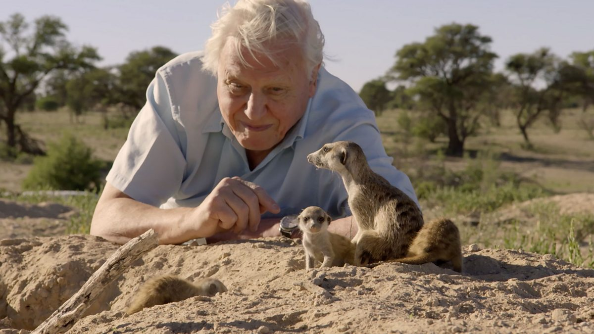 bbc two life story first steps david attenborough meets baby meerkats. Black Bedroom Furniture Sets. Home Design Ideas