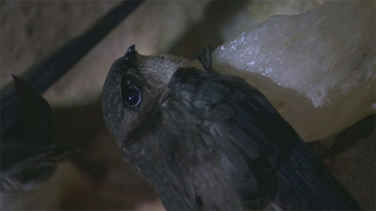 bbc one planet earth caves cave swiftlets