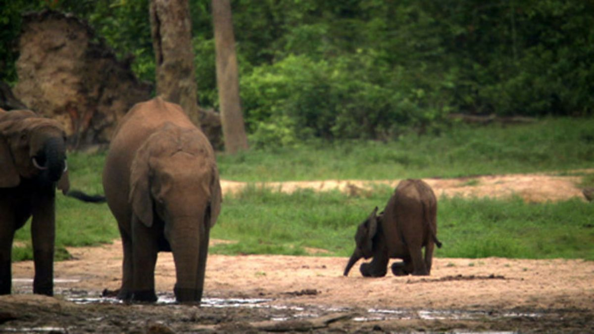 Bbc Two Natural World 2009 2010 Forest Elephants