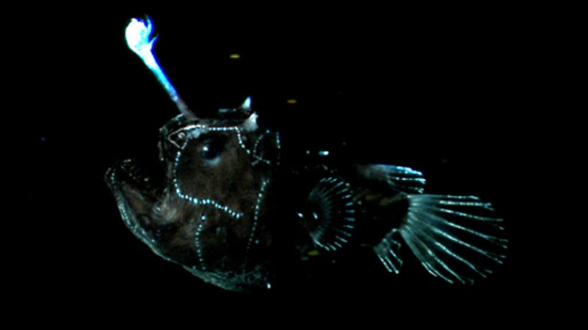 Bbc one the blue planet the deep light lures for Where do angler fish live
