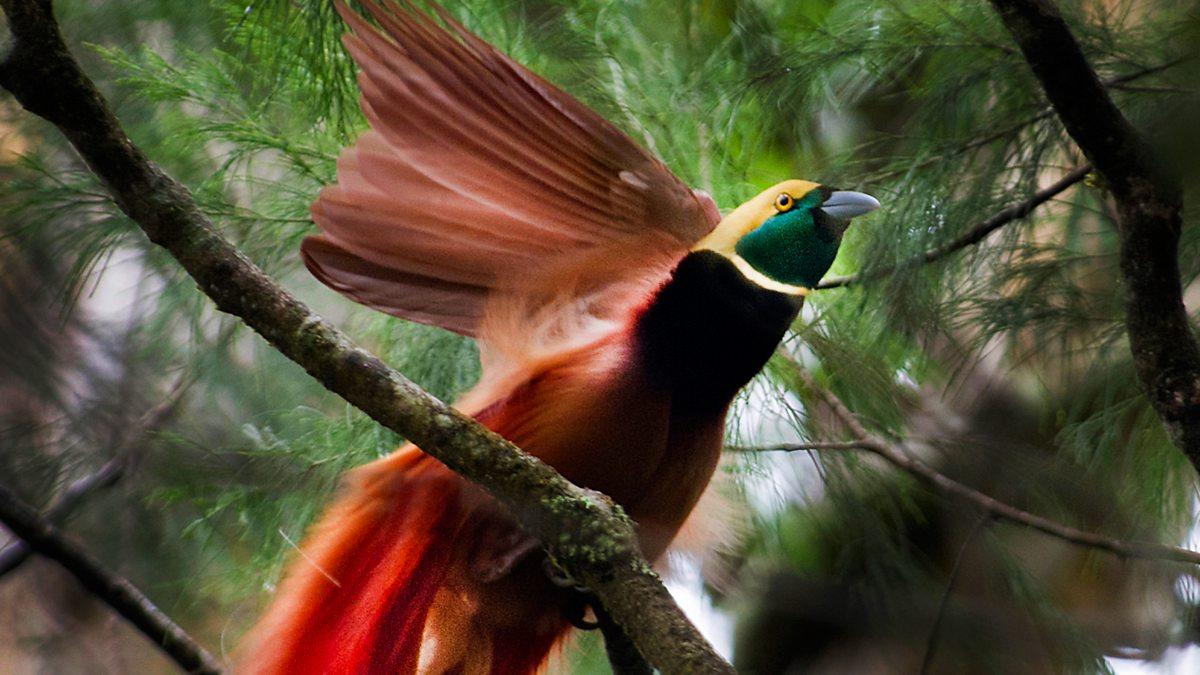 Bbc radio 4 tweet of the day raggiana bird of paradise - Hd images of birds of paradise ...
