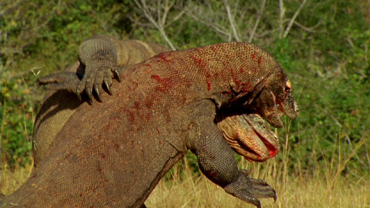 here be dragons the mythic bite of the komodo - 640×360