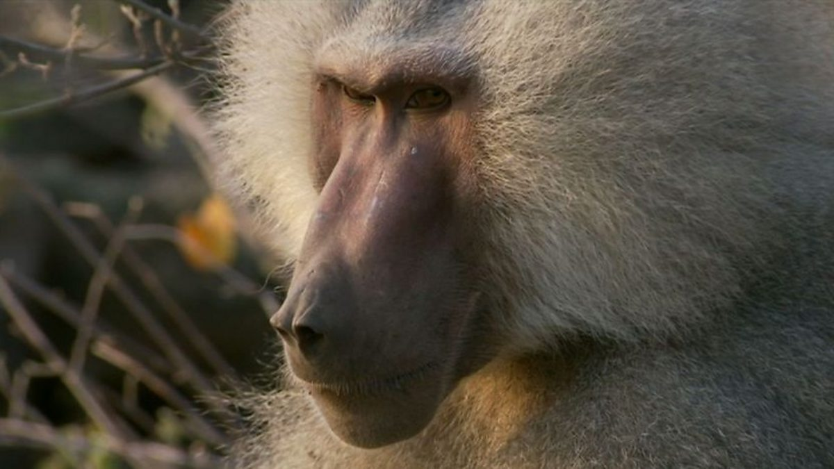 Bbc Two Natural World 2012 2013 Living With Baboons