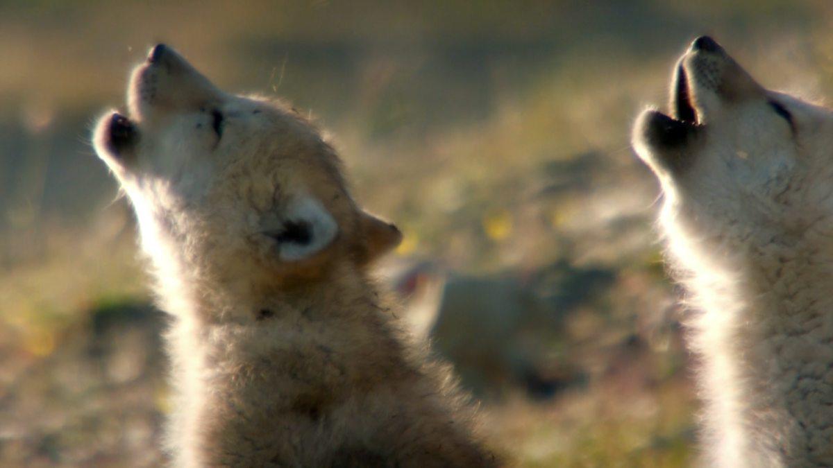 BBC Two - Snow Wolf Family and Me, Episode 1, Gordon ...