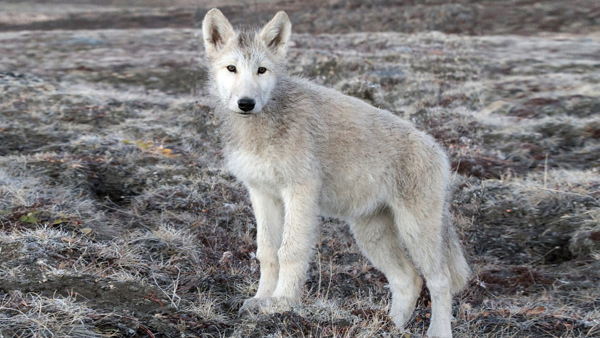 Bbc Two Arctic Wolf Pup Banjo In Late Autumn Snow Wolf