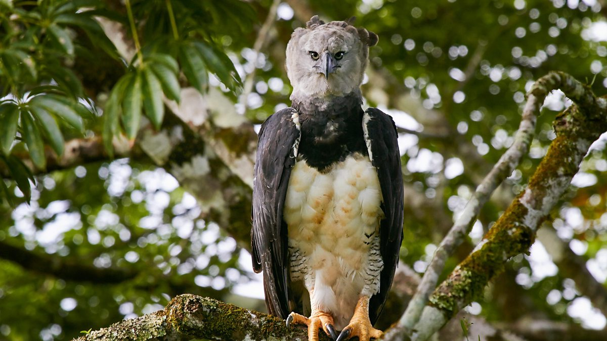 bbc one a harpy eagle stalks monkeys in the south american rain