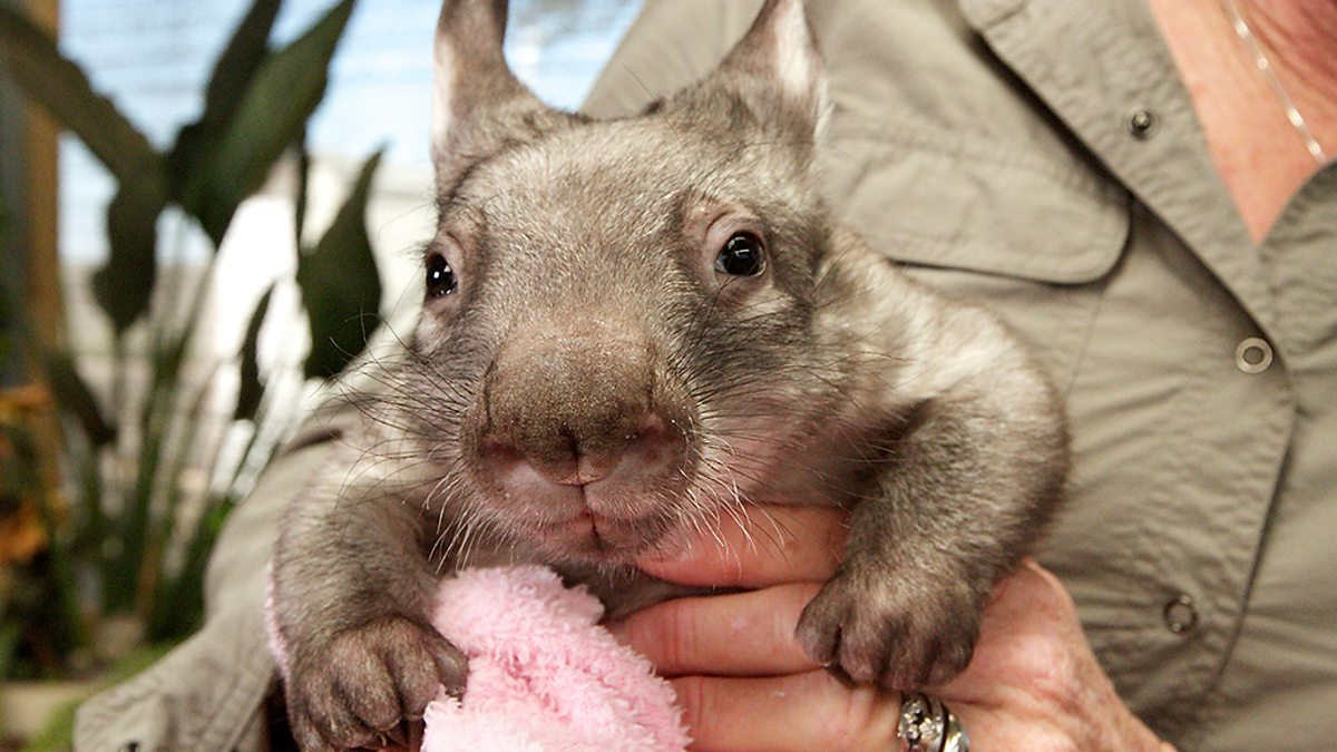 Orphaned wombat