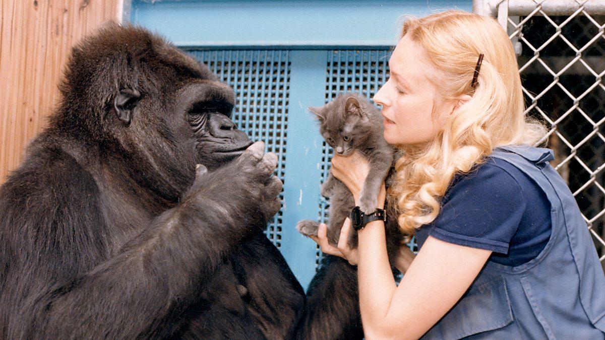 Koko: The Gorilla Who Talks To People - Episode 03-12-2019