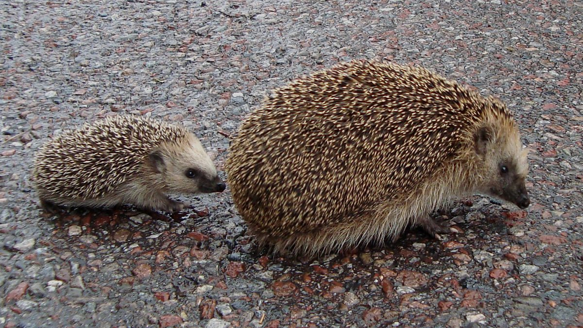 bbc how beatrix potter is helping to save britain u0027s hedgehogs