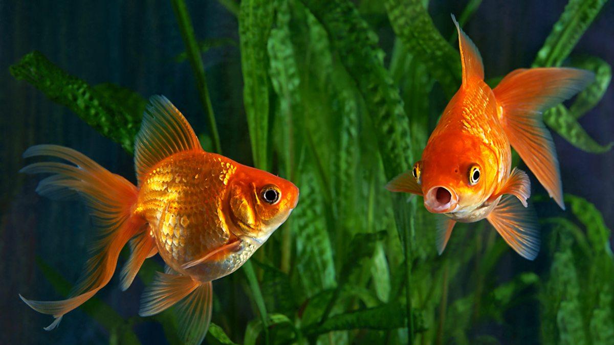 Goldfische Stream