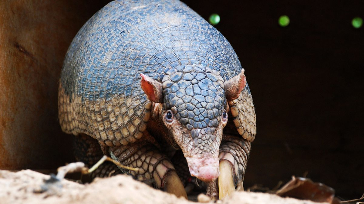 an overview of the animal armadillo in animal kingdom
