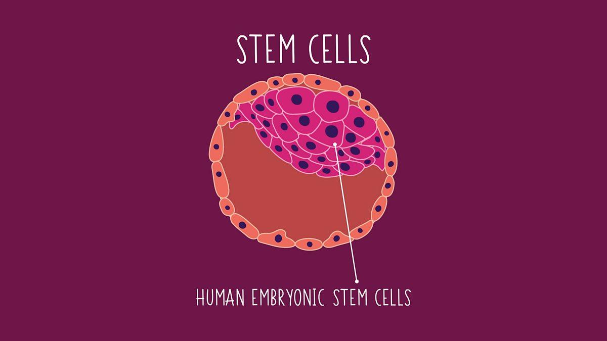 BBC - Bitesize, GCSE Biology - Stem cells
