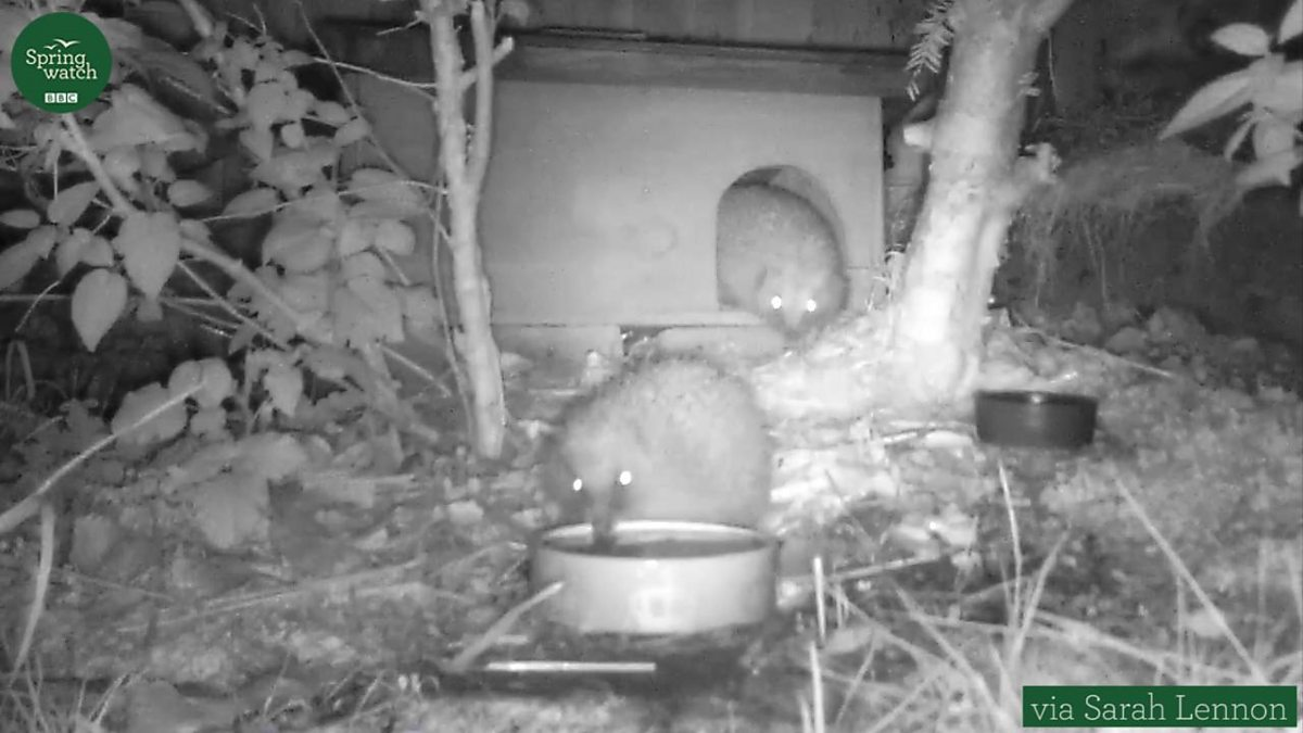 Hedgehog surprise!, Springwatch - BBC Two