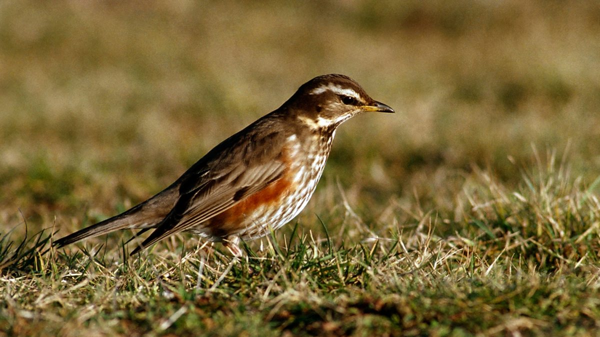Bbc Radio 4 Tweet Of The Day Paul Brook On The Redwing