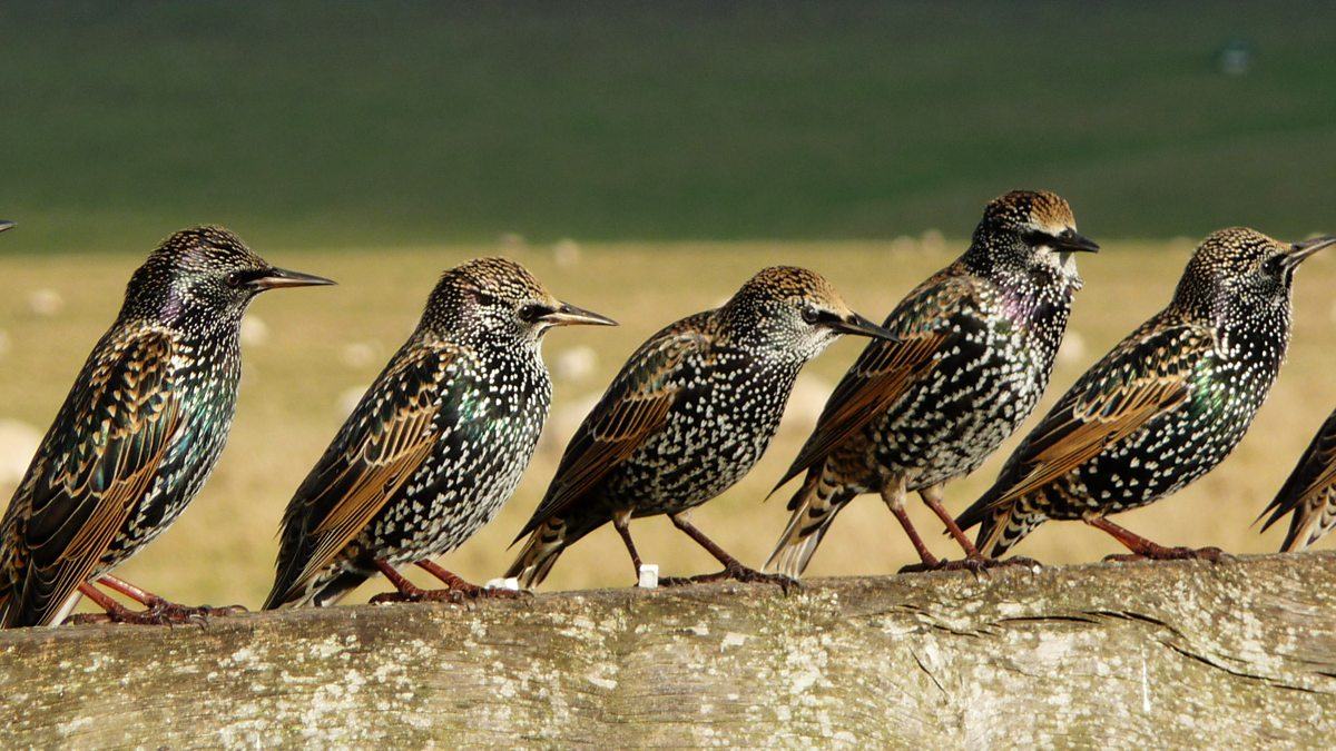 The amazing memory of starlings revealed?, Animal Memory, Music and Memory - BBC Radio 3