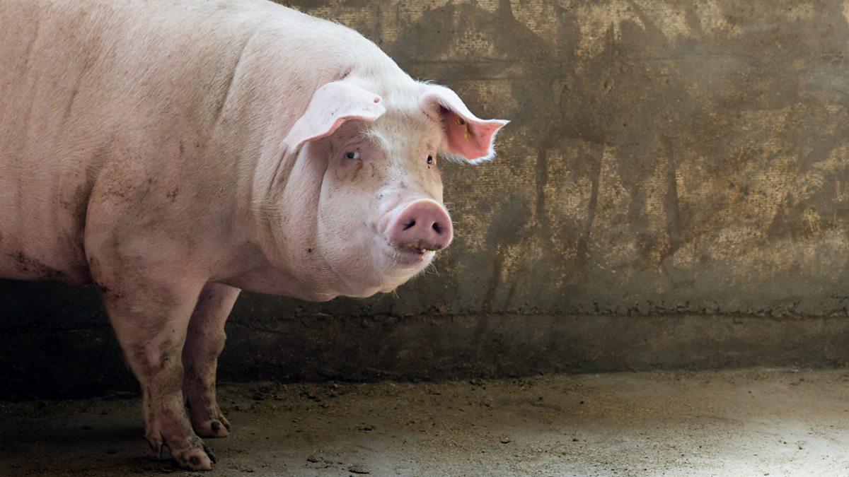 эстонская беконная порода свиней фото выполнен колониальном
