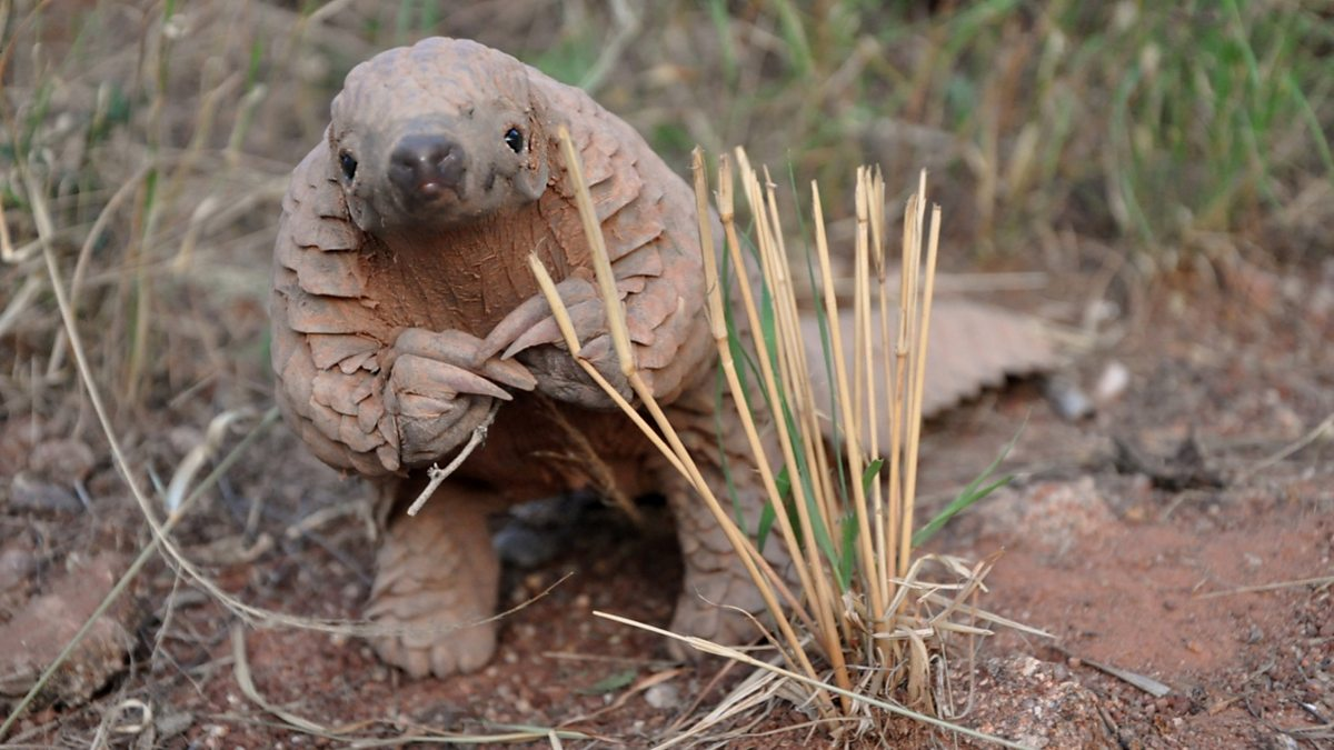 BBC Two - Natural World - Saving Pangolins from Extinction
