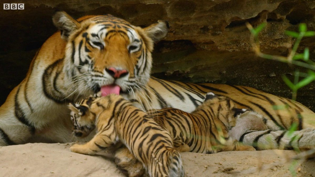 human tiger baby birth in pakistan