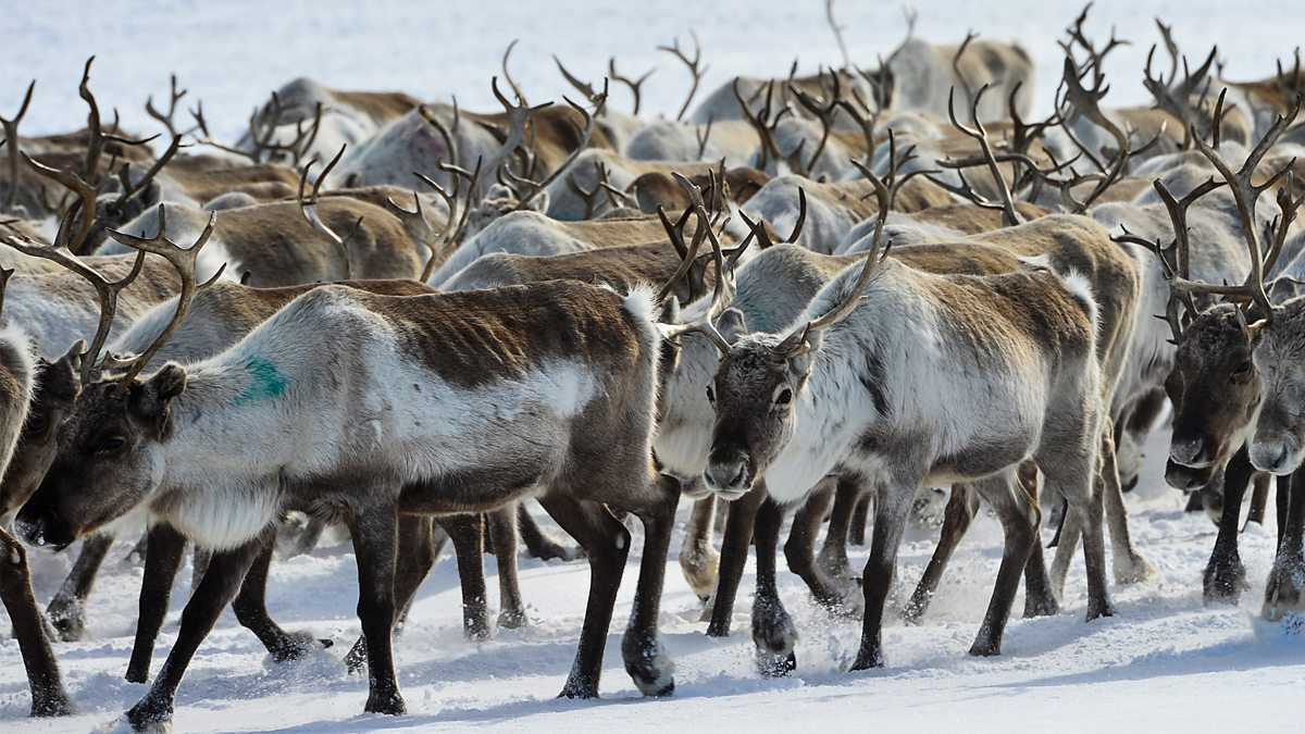 All Aboard! The Great Reindeer Migration - Episode 07-12-2019