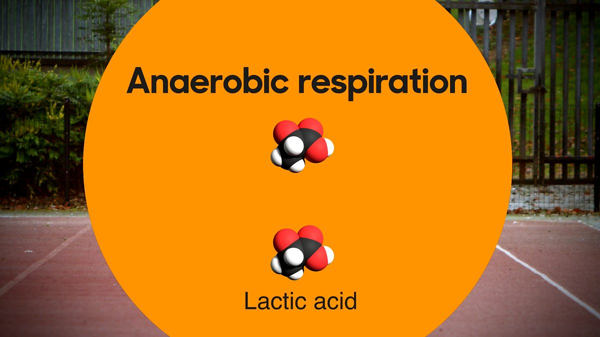 What Is Anaerobic Respiration Bbc Bitesize