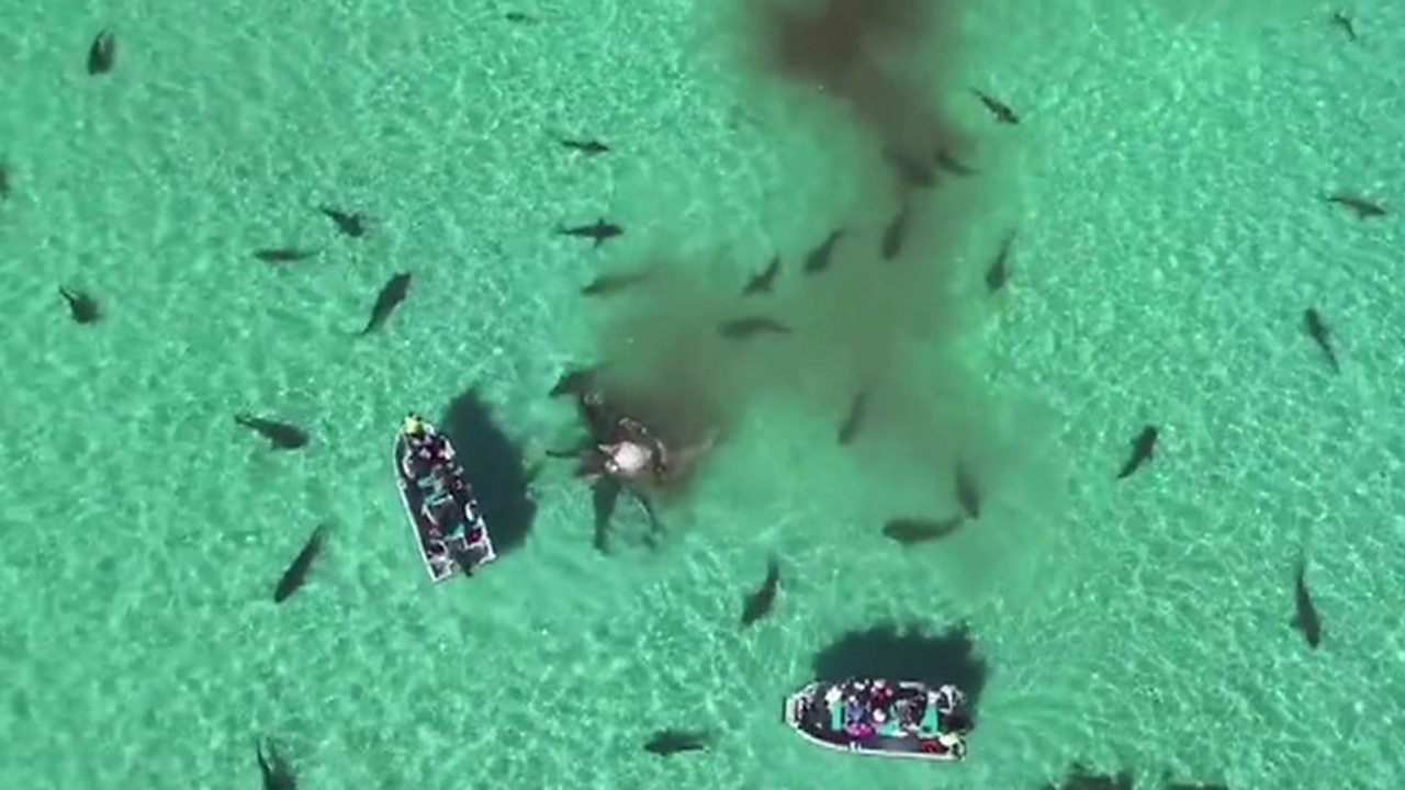 When 70 tiger sharks surround your dinghy