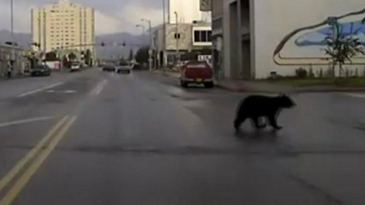 Young black bear goes on the run in Alaska city