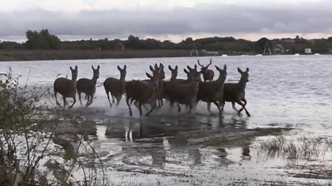 Wildlife expert captures deer and stag mating ritual