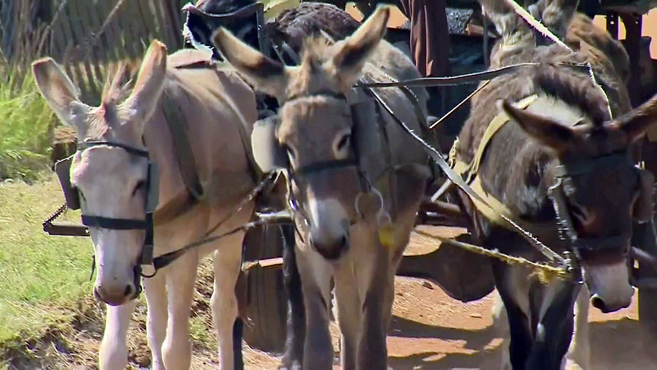 Donkeys in Africa under threat as demand for hides grows