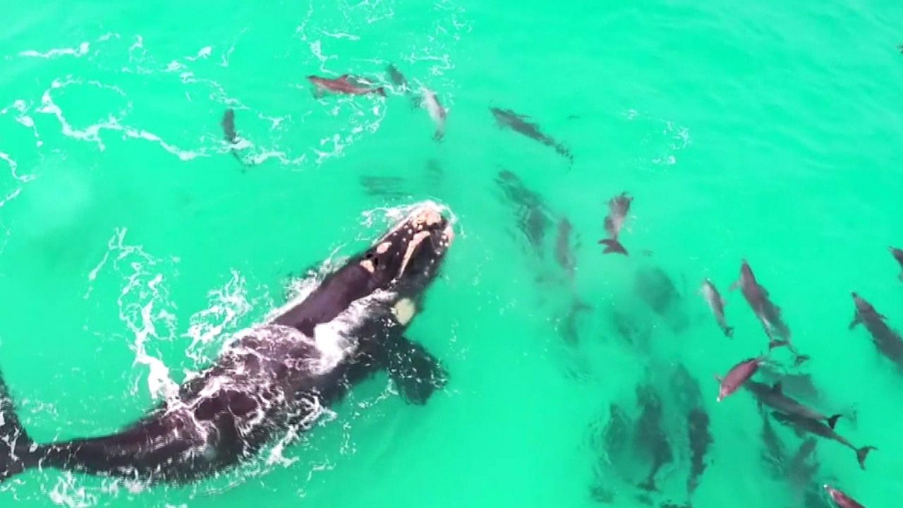 Mesmerising video of a whale playing with dolphins