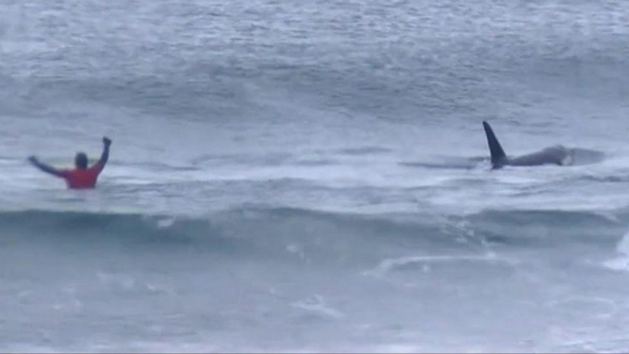 Killer whales join in on Norway surfing competition