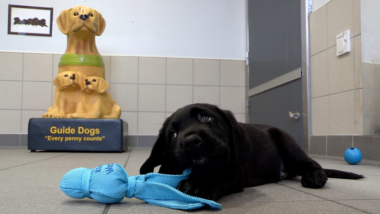 How puppies are trained to become guide dogs
