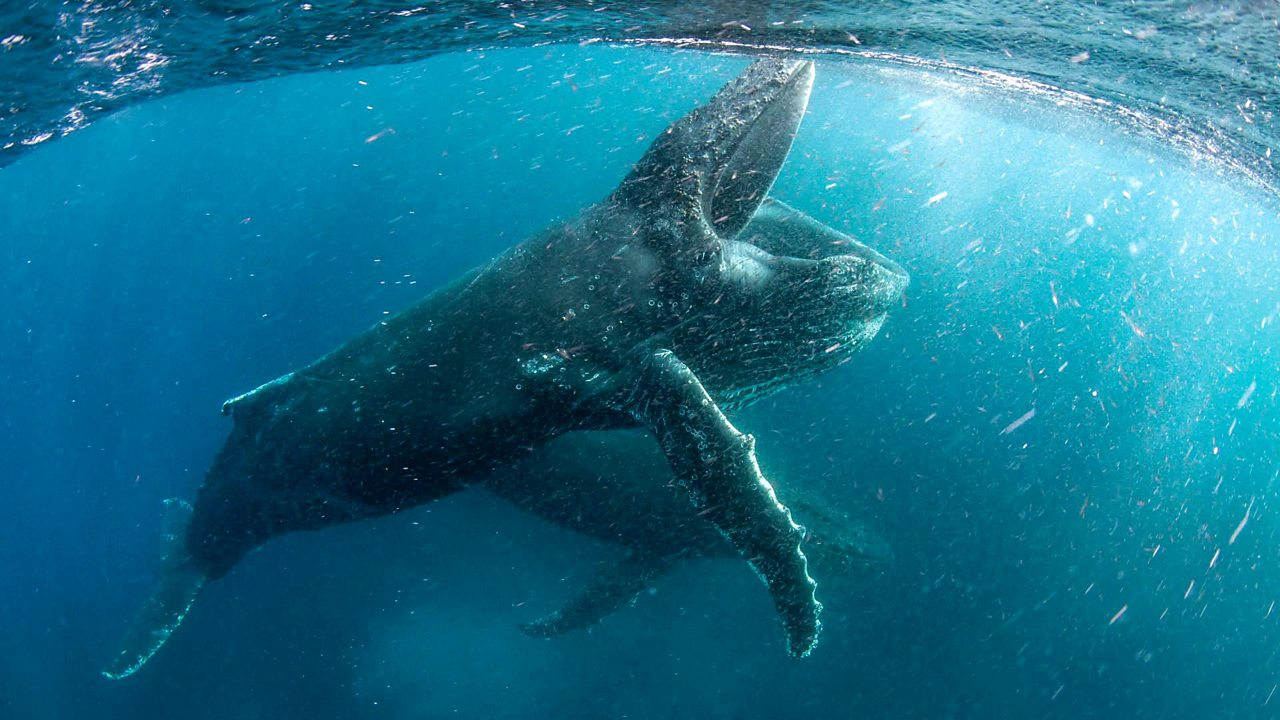 Humpback whale choristers learn new songs